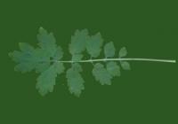 Free Celandine Leaf Texture 2