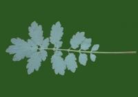 Free Celandine Leaf Texture 5