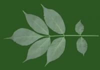 leaf_00288
