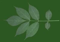 leaf_00289