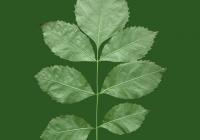 leaf_00385