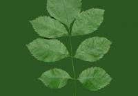 leaf_00386