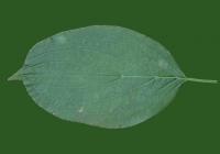 Free Leaf Texture