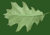 Oak Tree Leaf Texture 01