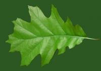 Free Oak Tree Leaf Texture 02