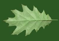 Free Oak Tree Leaf Texture 03