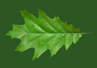 Free Oak Tree Leaf Texture 04