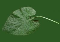 leaf_00063