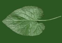 leaf_00064