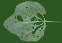 leaf_00013