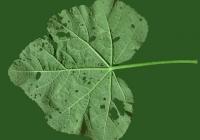 leaf_00026