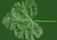 leaf_00027