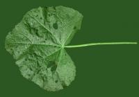 leaf_00028