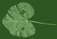 leaf_00029