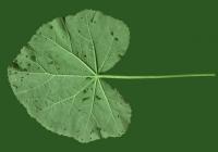 leaf_00030