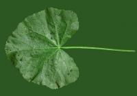 leaf_00031
