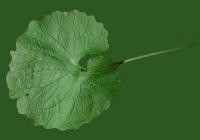 leaf_00059
