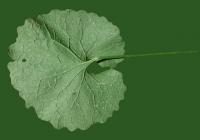 leaf_00060