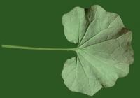 leaf_00239