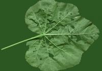 leaf_00368