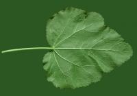 leaf_00370