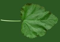 leaf_00371