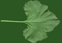 leaf_00372