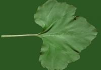 leaf_00373