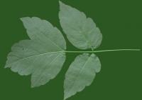 Box Elder Tree Leaf Texture 01