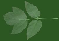 Box Elder Tree Leaf Texture 02