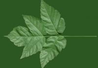 Box Elder Tree Leaf Texture 03