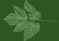 Box Elder Tree Leaf Texture 04
