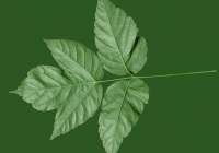 Box Elder Tree Leaf Texture 05