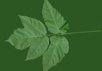Box Elder Tree Leaf Texture 06