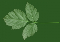 Box Elder Tree Leaf Texture 07