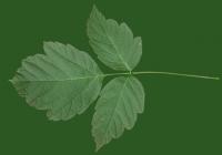 Box Elder Tree Leaf Texture 08