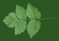 Box Elder Tree Leaf Texture 09