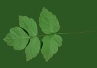 Box Elder Tree Leaf Texture 10
