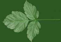Box Elder Tree Leaf Texture 11