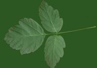 Box Elder Tree Leaf Texture 12