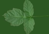 Box Elder Tree Leaf Texture 13