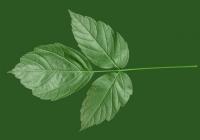 Box Elder Tree Leaf Texture 14