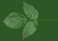 Box Elder Tree Leaf Texture 15