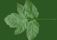 Box Elder Tree Leaf Texture 16