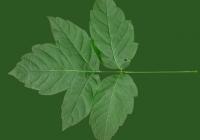 Box Elder Tree Leaf Texture 17