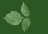 Box Elder Tree Leaf Texture 18