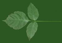 Box Elder Tree Leaf Texture 19