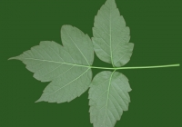 Box Elder Tree Leaf Texture 20
