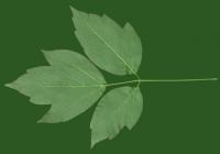 Box Elder Tree Leaf Texture 21