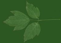 Box Elder Tree Leaf Texture 22